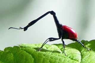 Kumbang Pengerek Jerapah