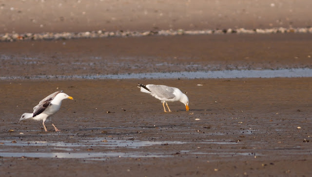 American Herring Gull - Plumb Beach, New York