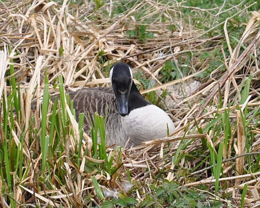 female Canada Goose on the nest
