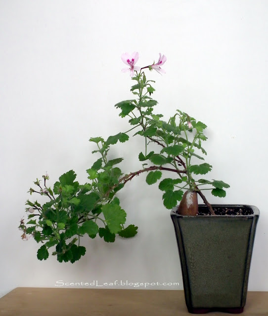 Scented pelargonium Marie Thomas cascade bonsai with flowers
