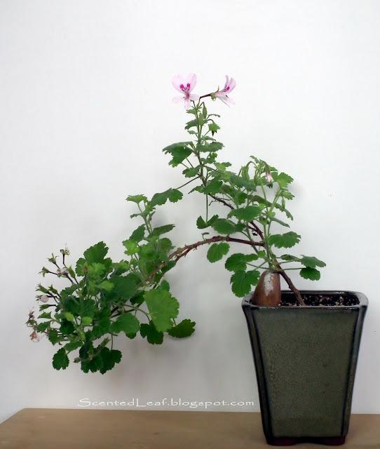 Scented pelargonium Marie Thomas cascade bonsai with flowers