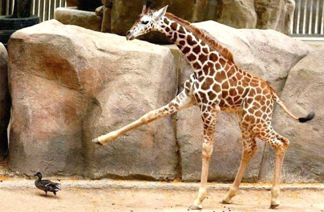 funny picture, animals, giraffe, duck, go away
