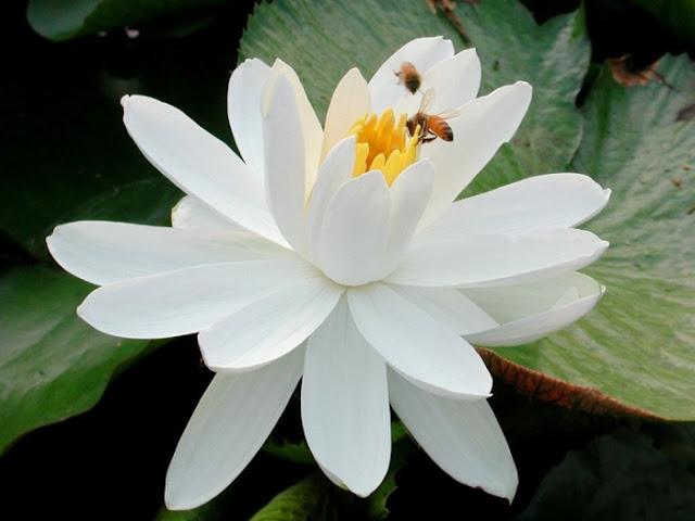 y nghia hoa sen  hinh hoa sen  hoa sen dep,  thuyet minh ve hoa sen , tranh hoa sen,  hoa sen group