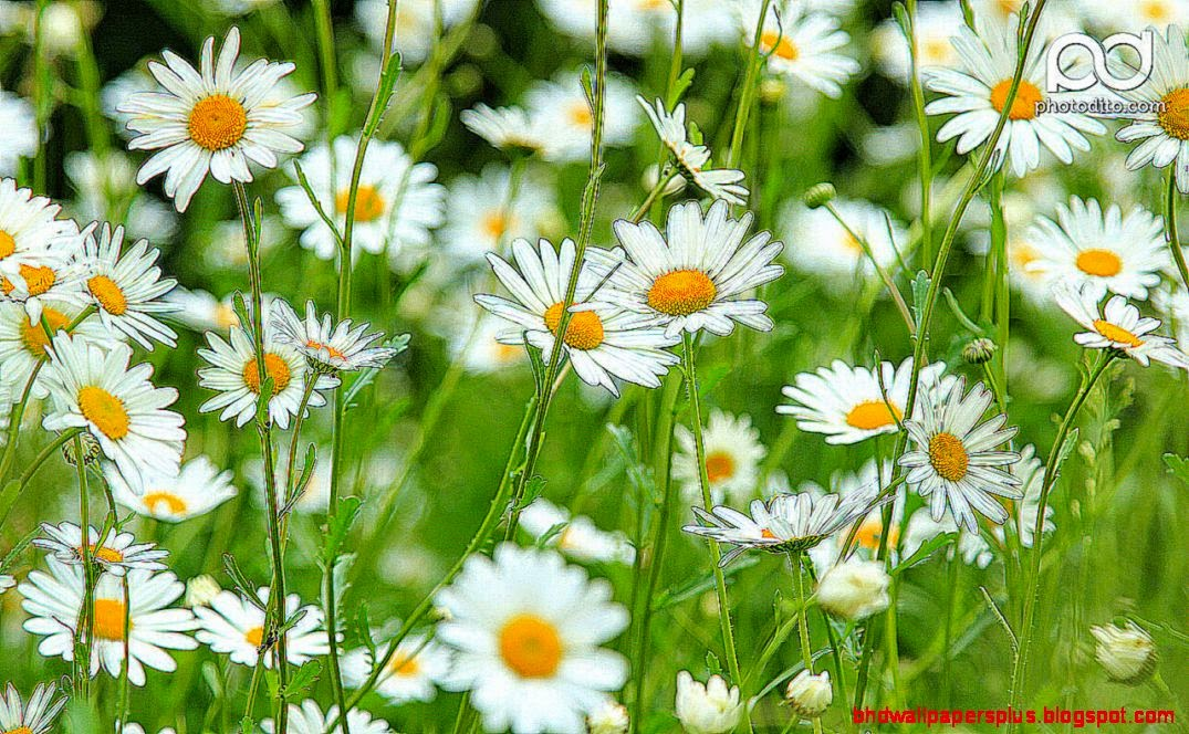 Daisy wallpapers  Download HD Wallpaper and Desktop Backgrounds