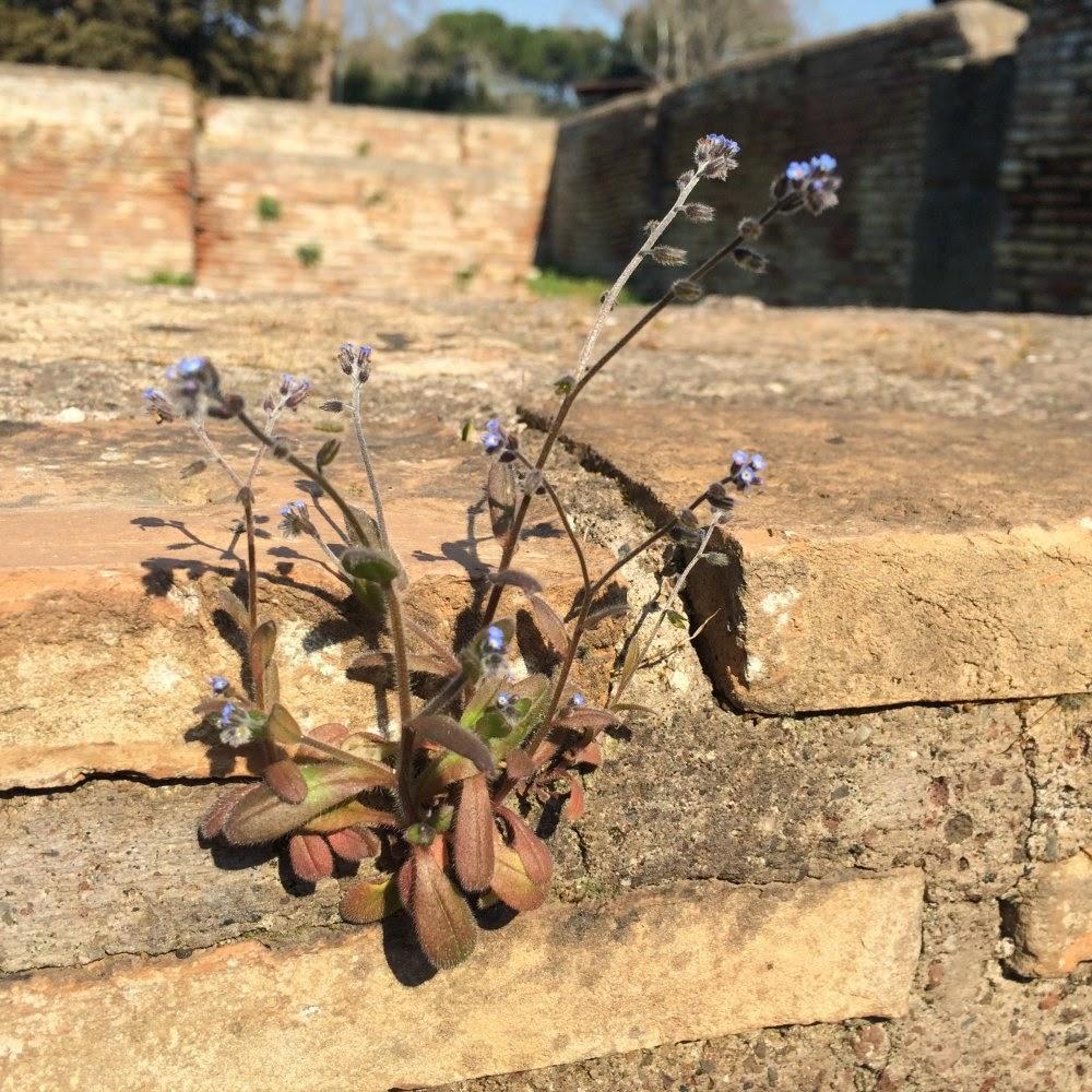 Mauerblümchen in Ostia