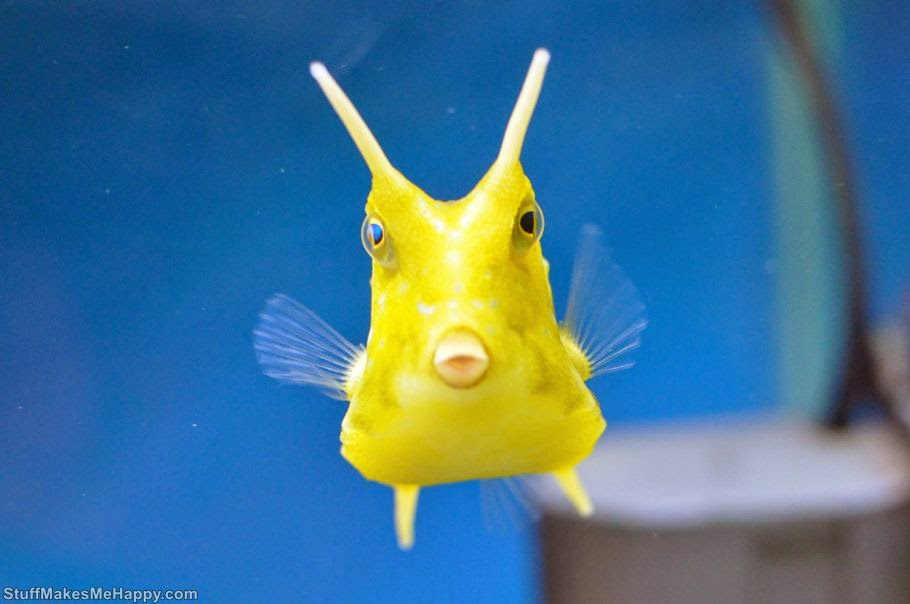 Longhorn cowfish, Photo by Mike S. Torres