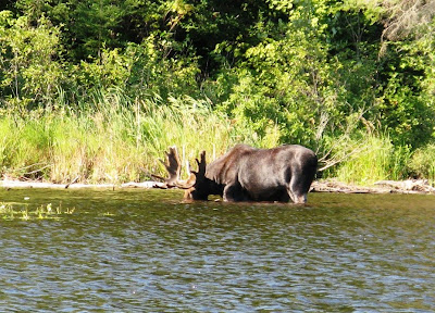 bull moose near Bow Narrows Camp