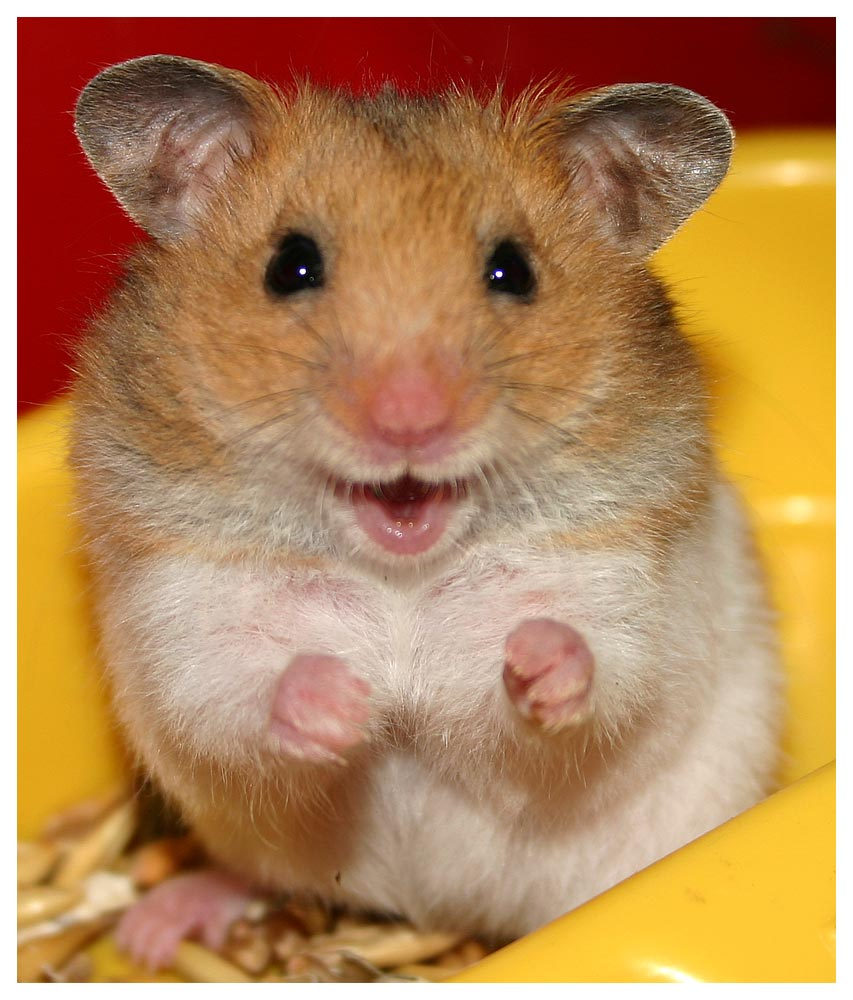 singlar hamster free