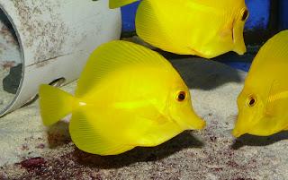 Yellow Tang Fish Wallpapers