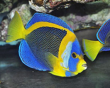 Eating Healthy Songs For Preschoolers additionally Kameronbrown blogspot as well Oscar Fish Different Color together with Astronotus Ocellatus Oscar Fish also New Haven Movie Quotes. on oscar fish gills