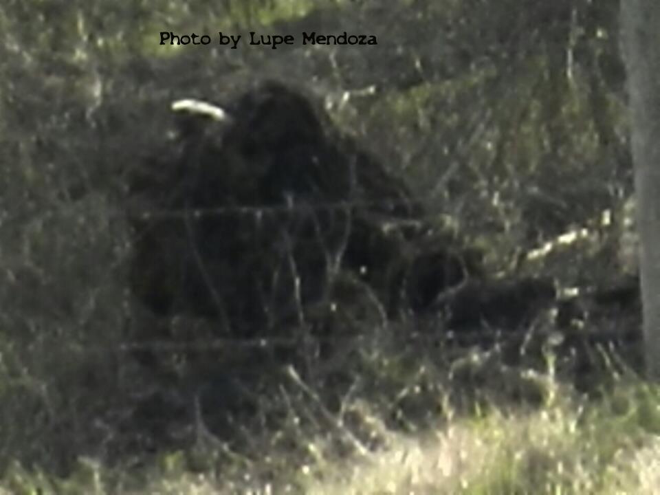 Texas Bigfoot Sightings 2013