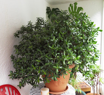 Jade Money plant