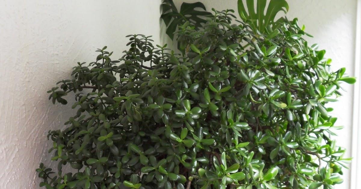 Bbb une plante symbole d 39 argent l 39 arbre de jade - Plante d interieur porte bonheur ...