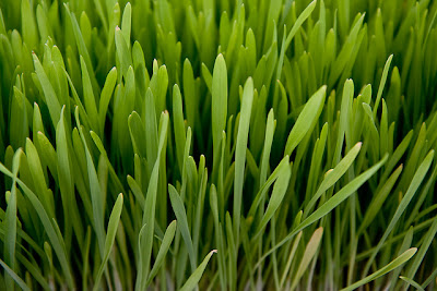 barley grass superfoods