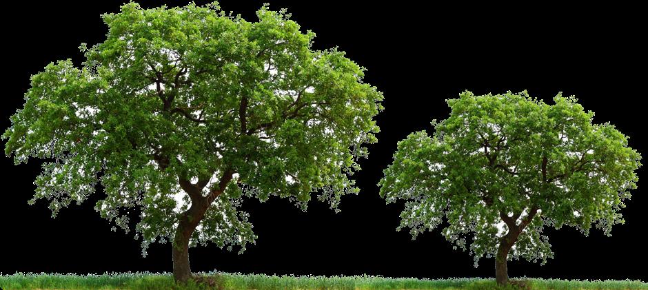 Magnolia Tree besides The Families Of Old Binan Laguna further Luis Xvi Y Maria Antonieta Reyes De Francia furthermore Abies alba moreover Winter Scenes Holiday Spirit. on jose tree