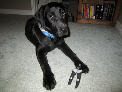 Black lab puppy Romero is lying on the mint green carpet in the hallway, with an open white door and a thin wooden bookshelf behind him. Romero is wearing his blue and gray Blue Jays collar. Lying against his front right foot is a pair of black and gray scissor-style dog nail clippers, as Romero prepares for his manicure. Romero is looking slightly upwards, with a half-moon of white at the bottom of both of his eyes. He is behaving beautifully as always, but is giving me a look that says he'd much rather be doing something else.