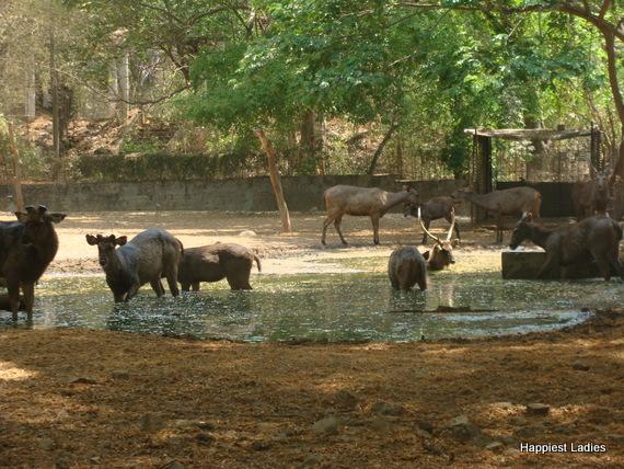 antelope mysore zoo
