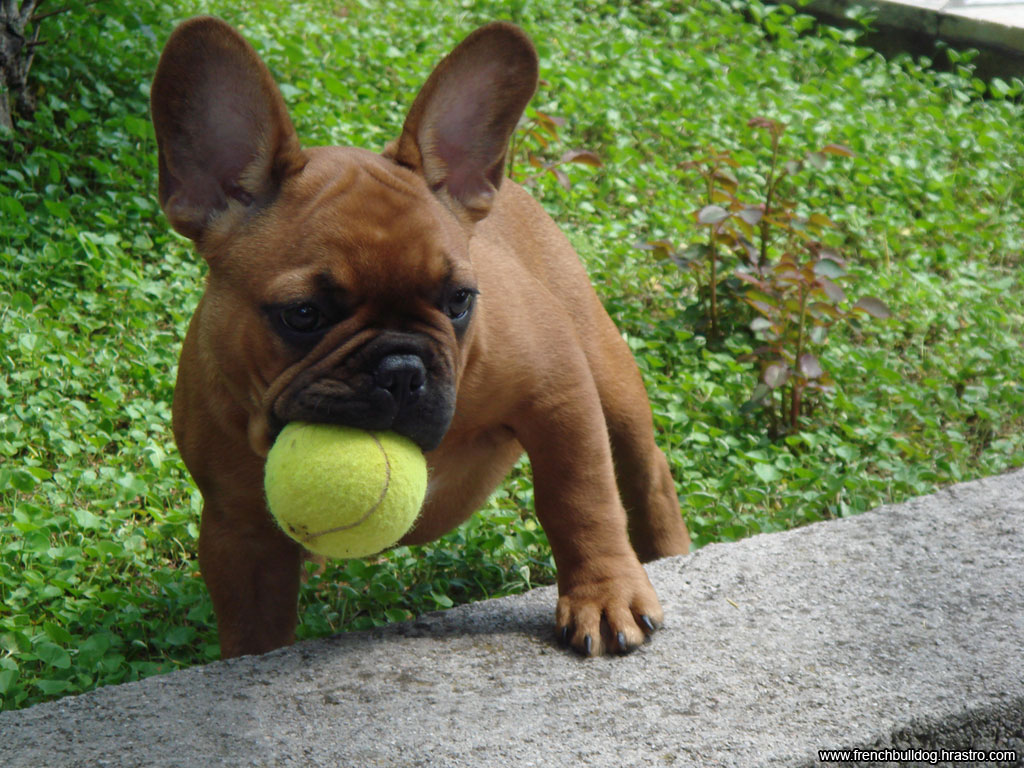 Cute french bulldog wallpaper - photo#1