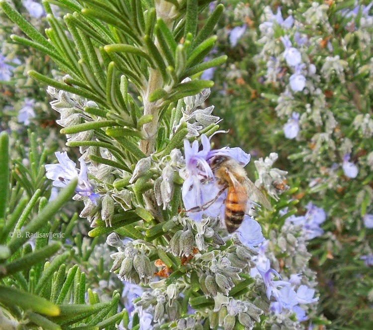 Bee Enjoying Rosemary Plant in March, © B. Radisavljevic