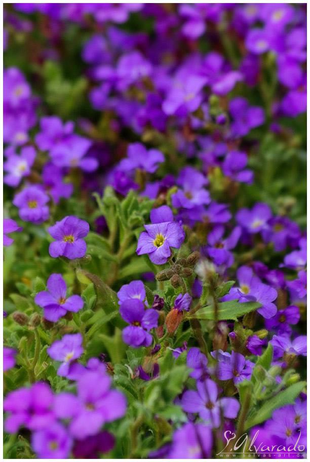Lila Blumen Bestimmen Blau Bluhende Pflanzen Und Blumen Bestimmen ...