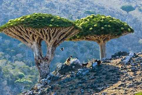 Pohon Socotra Dragon