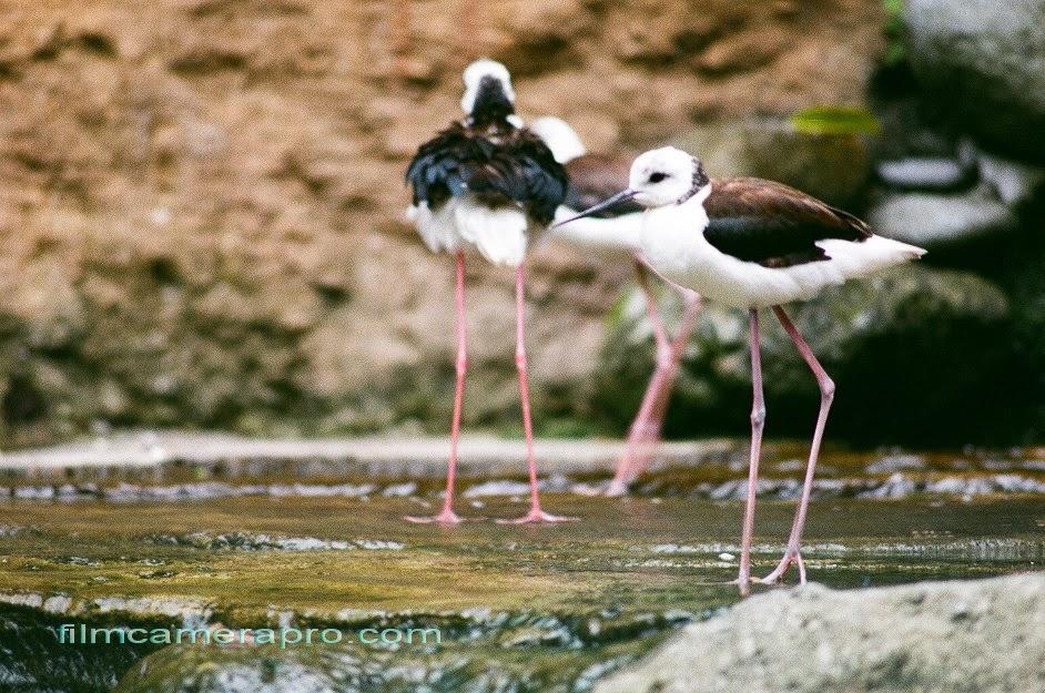 long legs birds