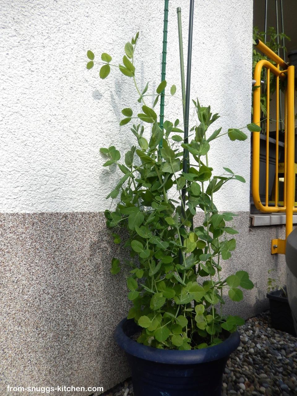 Erbsen-Pflanze