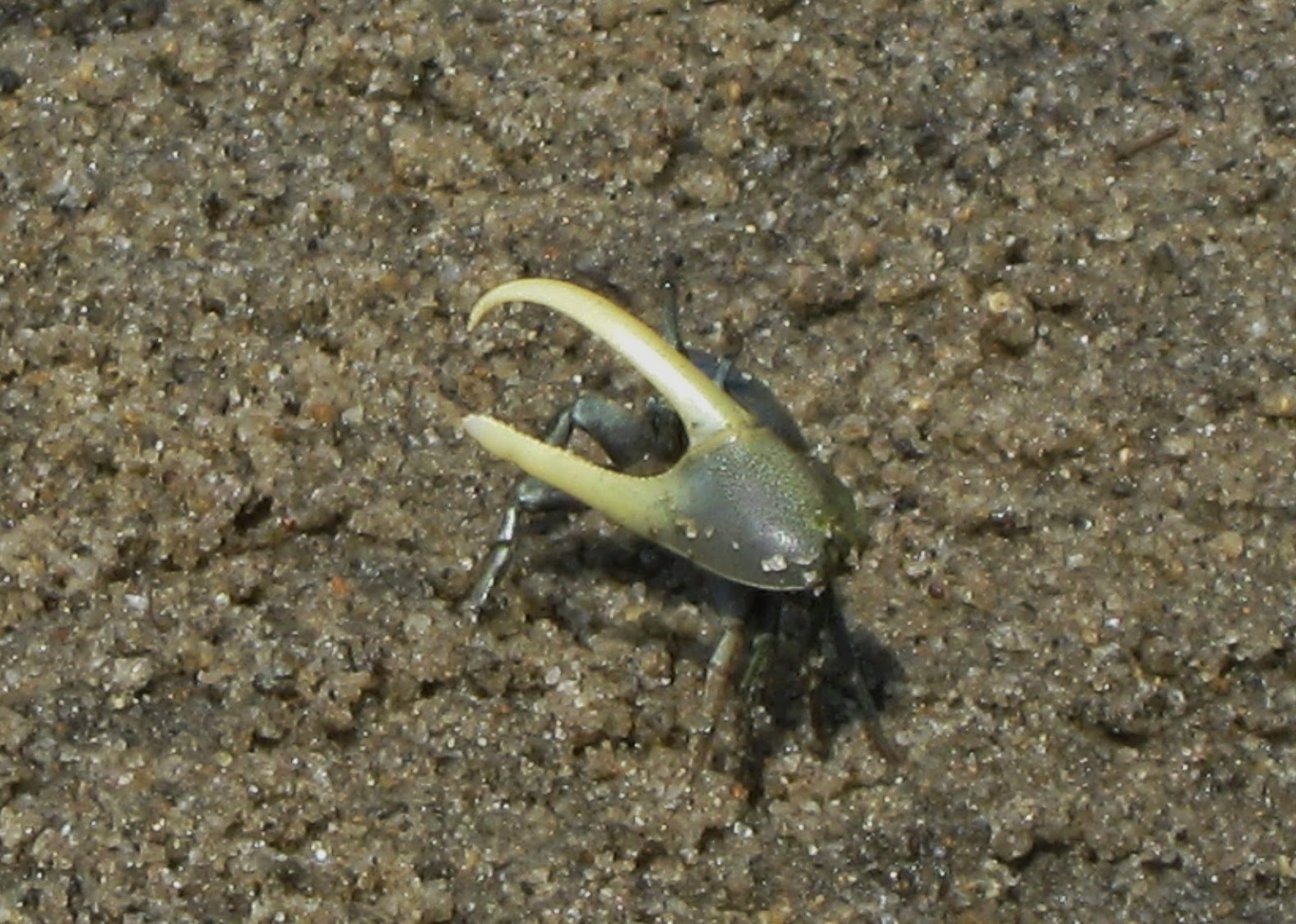 Great Island Trail Sand Fiddler Crab Claw - Wellfleet, MA - Travel the East