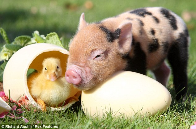Teacup Pig AND A Baby Duck