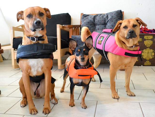 Funny dogs wear life jackets, funny dog picture, funny dogs, cute dogs
