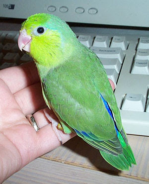 Foto Burung Pacific Parrotlet