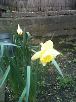 open daffodils in garden with a low wall in the background 