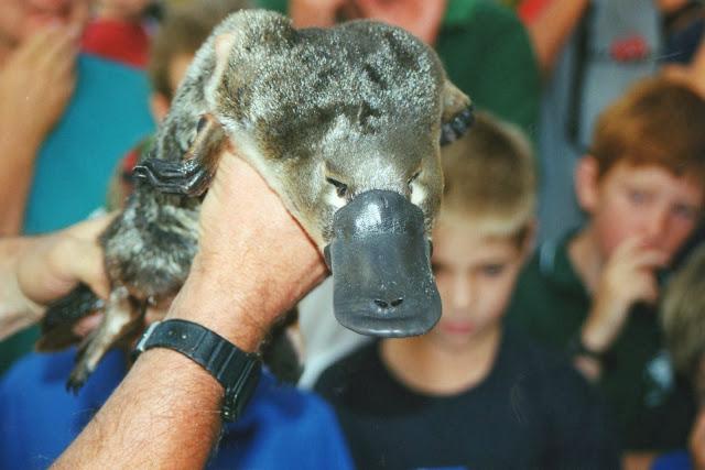 Menacing Platypus