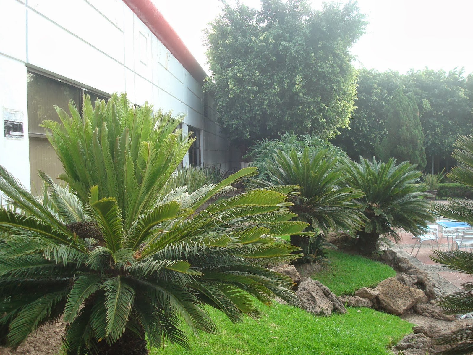 Sancarlosfortin sikas y pinos en jardin de la uvm for Pinos para jardin