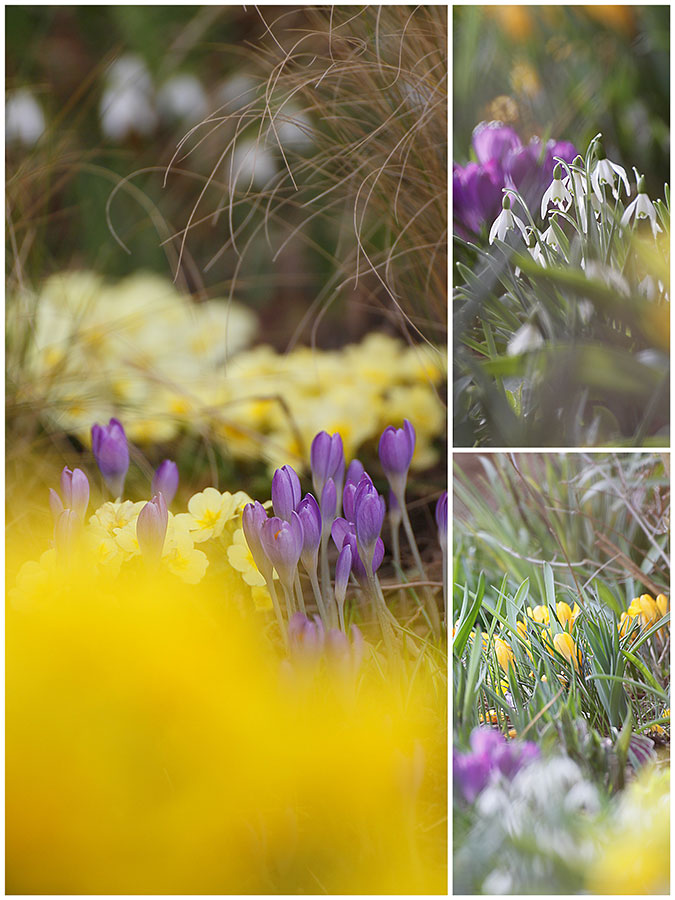 pale yellow Primrose Emily, Stipa grass, Yellow crocus and snowdrops