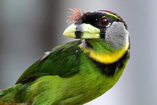 Burung Bultok : Tips Perawatan Burung Bultok Yang Simpel Untuk Pemula