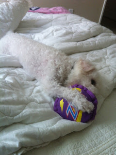 a white puppy playing with a purple disk on the bed