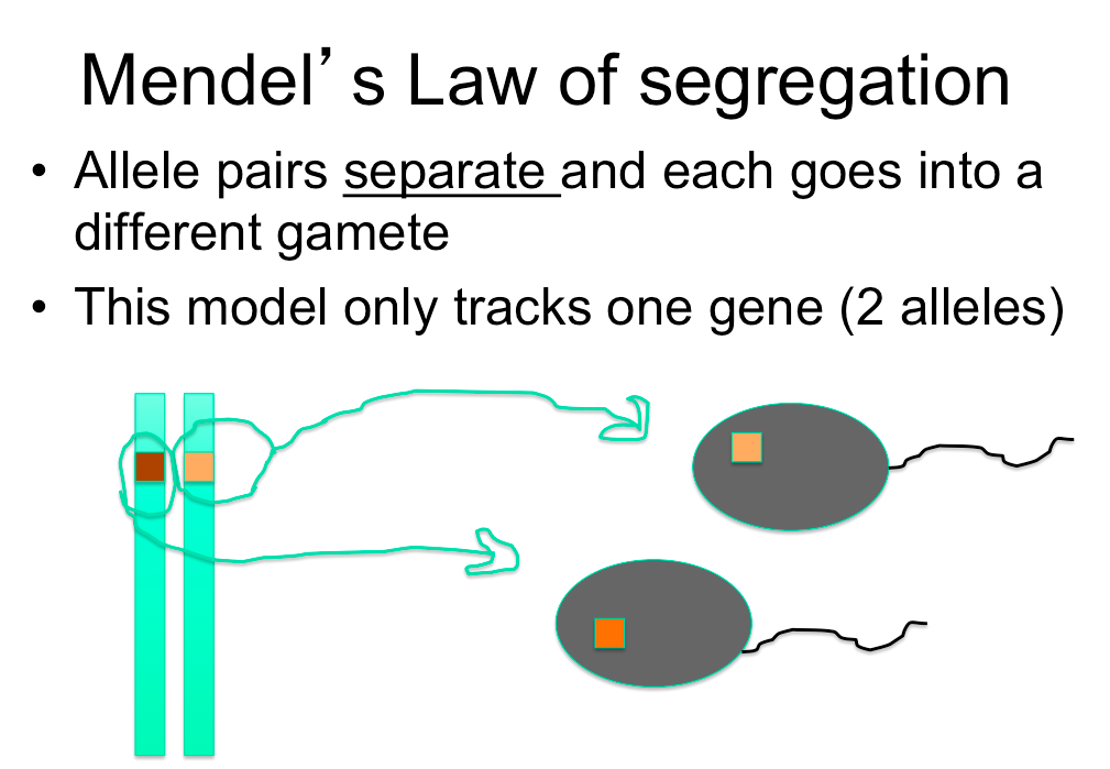what is the law of segregation