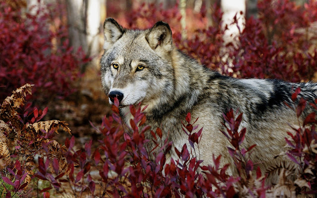 Beautiful Wolf In The Red Forest Picture