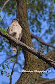 Adult Cooper Hawk