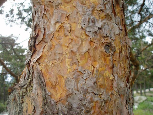 PINO SILVESTRE: Pinus sylvestris