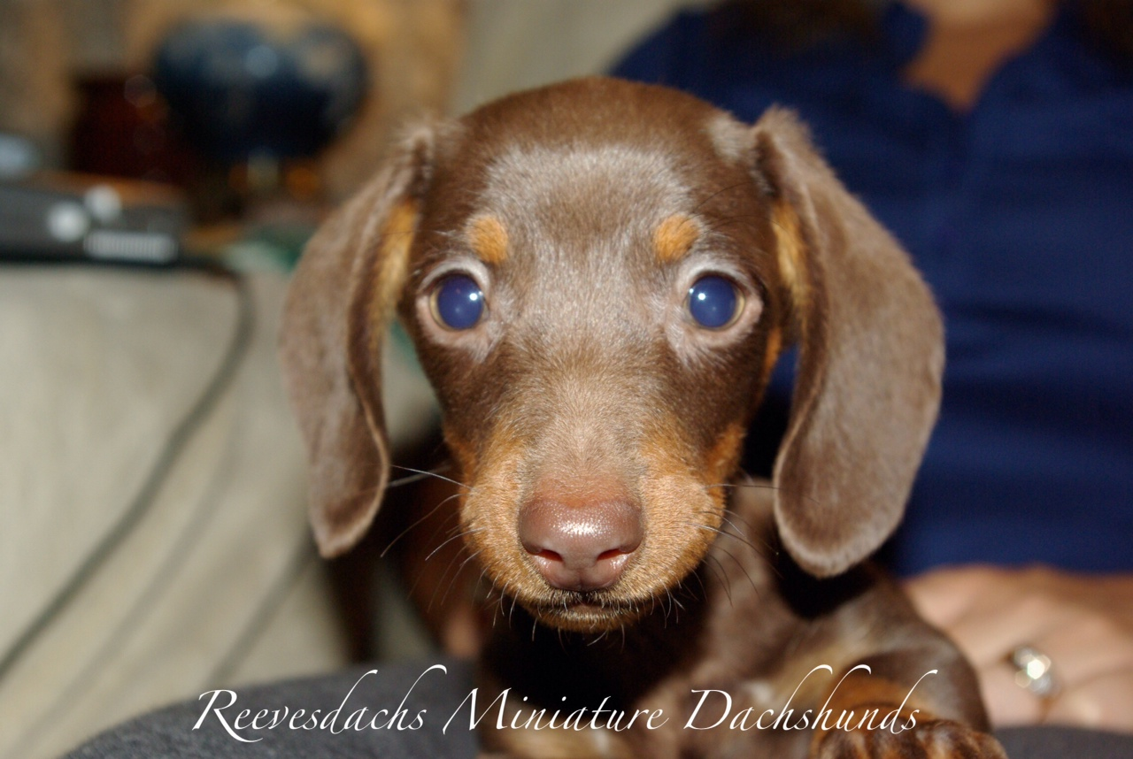 Welcome Reevesdachs Miniature Dachshunds