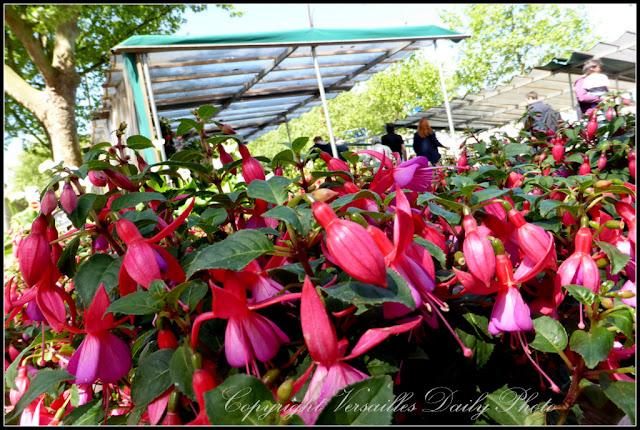 Fuschias Versailles flower market