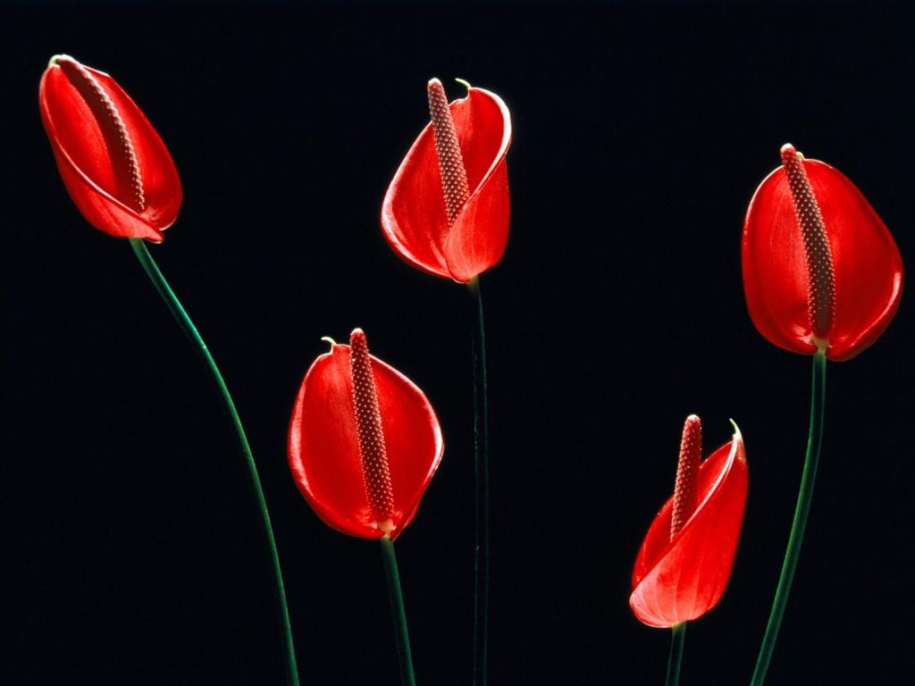 http://1.bp.blogspot.com/-q0okiekx1aw/UFyzIwDV_iI/AAAAAAAAADE/pYkKM07ltU8/s1600/red-tulip-black-wallpaper-hd.jpg