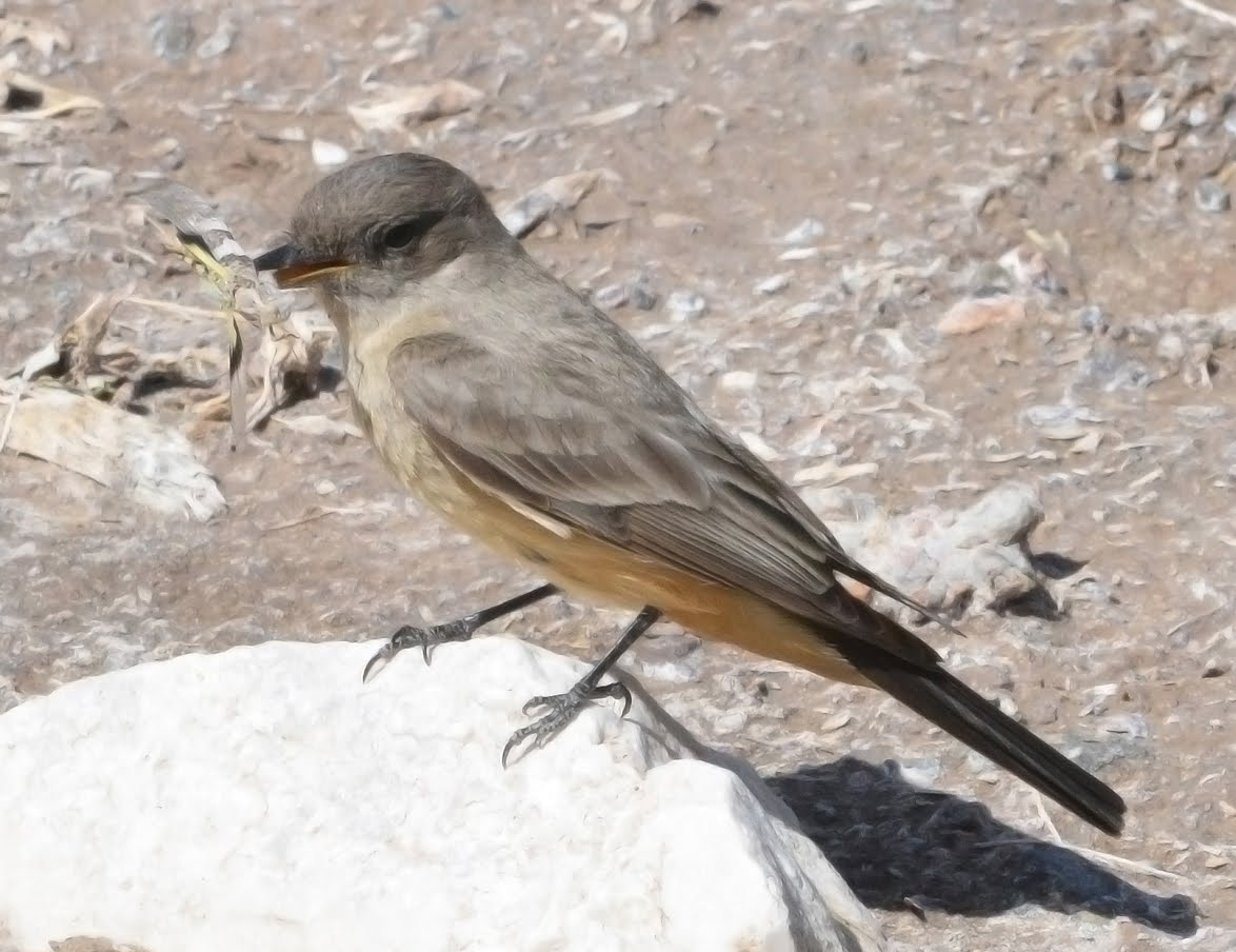Say's Phoebe with Grasshopper_4012a