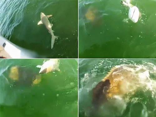 Peixe enorme engole tubarão de uma só vez!