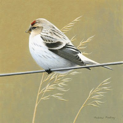 Hornemann's Arctic Redpoll - original bird painting for sale
