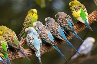 كل شئ عن تربية طيور البادجى