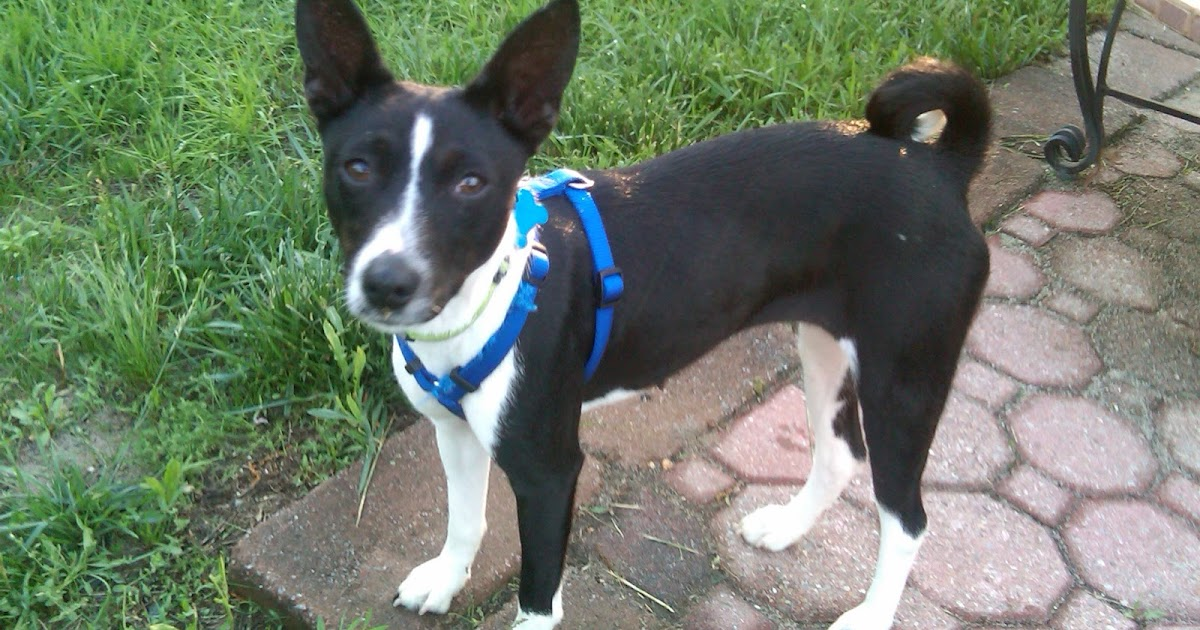 Basenji Rescue And Transport Blog Helping A Shy Dog