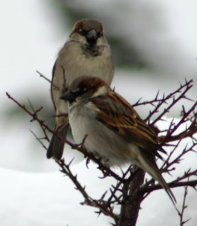 Sparrows in the snow.